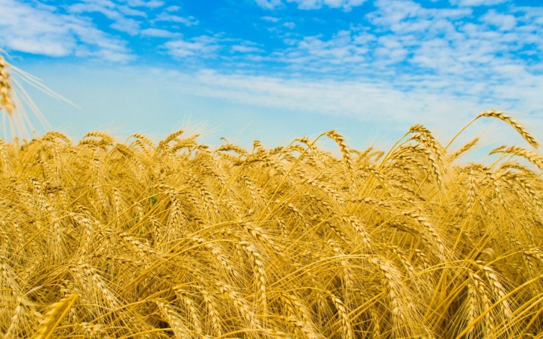 El trigo transgénico cordobés apto para celiacos, se podría ir de España